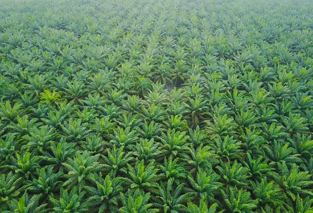 Despre uleiul de palmier